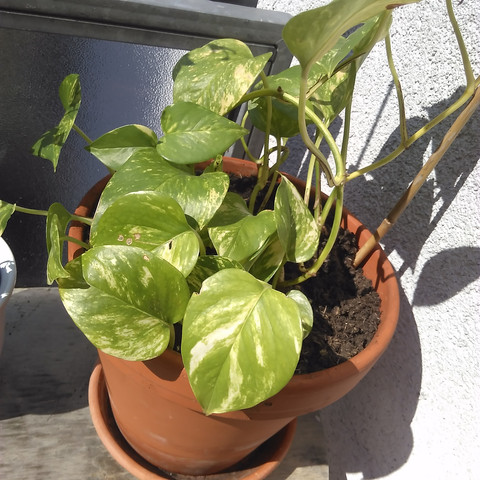 welche kletterpflanze rankenpflanze ist das garten pflanzen balkon. Black Bedroom Furniture Sets. Home Design Ideas