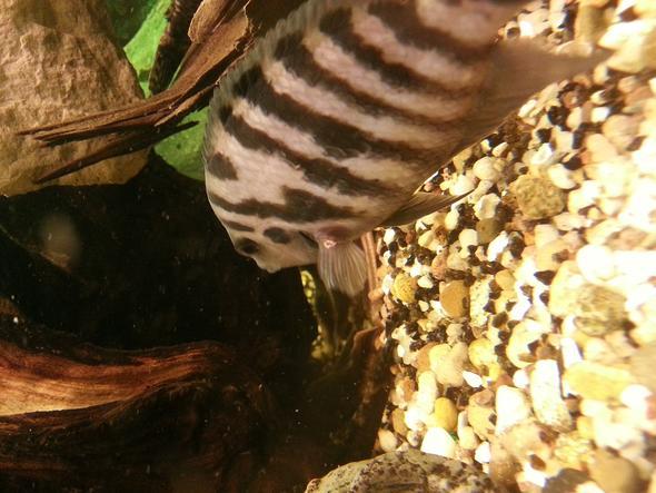 Foto von der Verletzung - (Aquarium, Barsche)