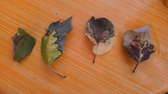 von links nach recht - (Garten, Schädlinge, pflanzenkrankheiten)