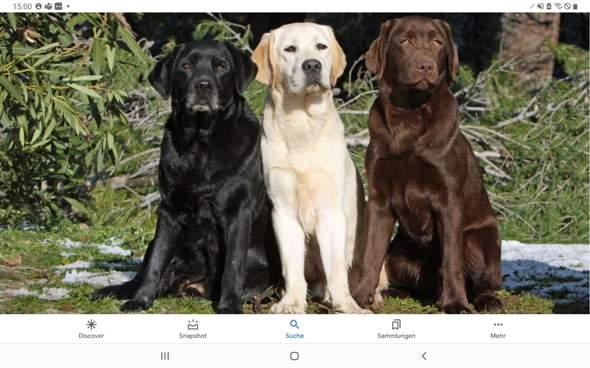 Welche Labradorfarbe findet ihr am schönsten?