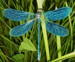 das ist die libelle die ich meinte - (Schule, Biologie, blau)