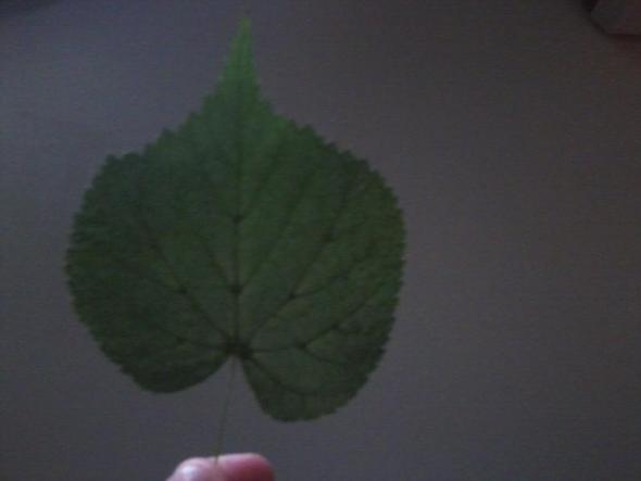 linde ??? - (Herbarium, Linde)