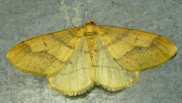 Nachtfalter auf dem Boden - (Insekten, Schmetterling, Nachtfalter)