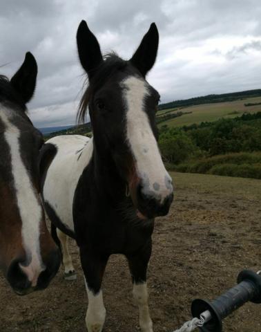 1 bild - (Pferde, Pferderassen)