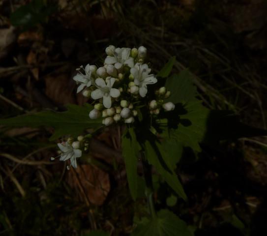 Weiße Blüte, fünf Blätter - (Biologie, Pflanzen, Natur)