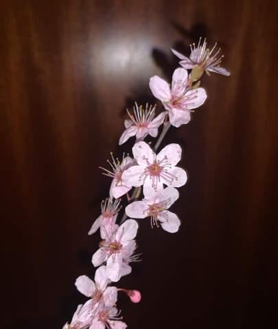Welche Pflanze ist das ähnelt einer Sakura Blüte?