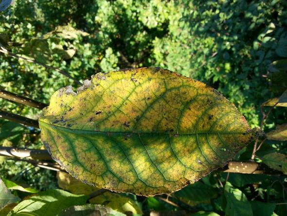 Blatt im Licht - (Pflanzen, Botanik, Blaetter)