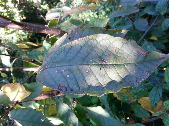Blatt bei weniger Licht - (Pflanzen, Botanik, Blaetter)