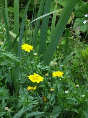 gelbe Blume - (Garten, Pflanzen)