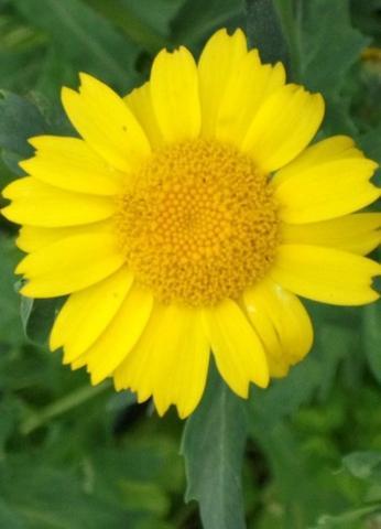 gelbes Unkraut - (Garten, Pflanzen)