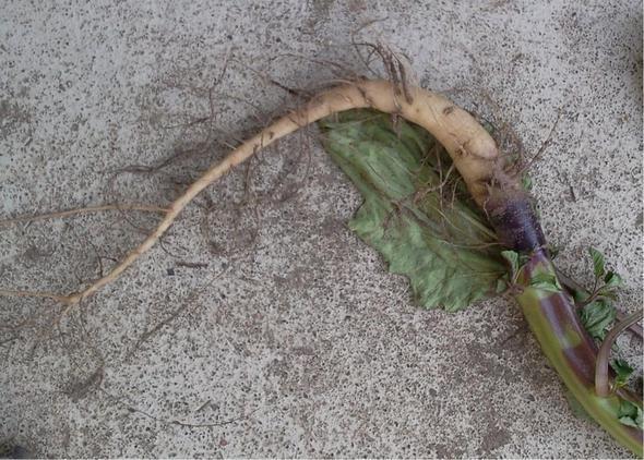 die rübenartige Wurzel - (Biologie, Garten, Pflanzen)