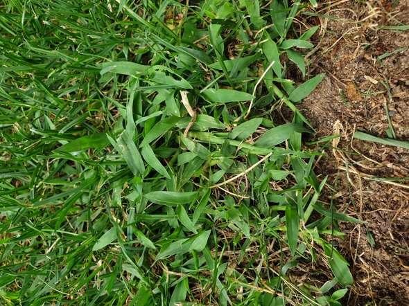 Welche Pflanze macht sich in meinem Rasen breit
