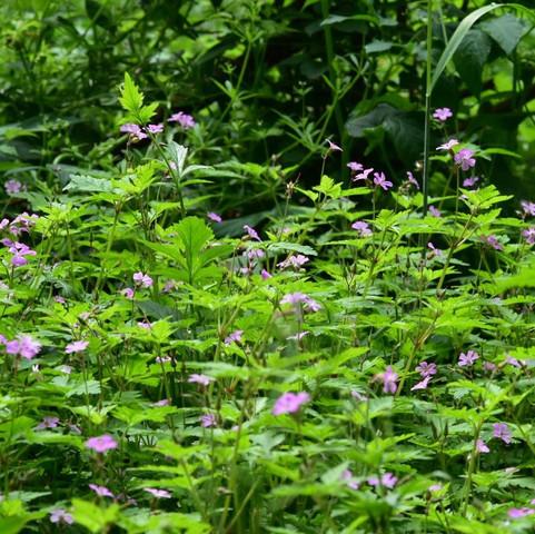 Lilafarbene Blume  - (Blumen, Pflanzenbestimmung, Waldpflanze)