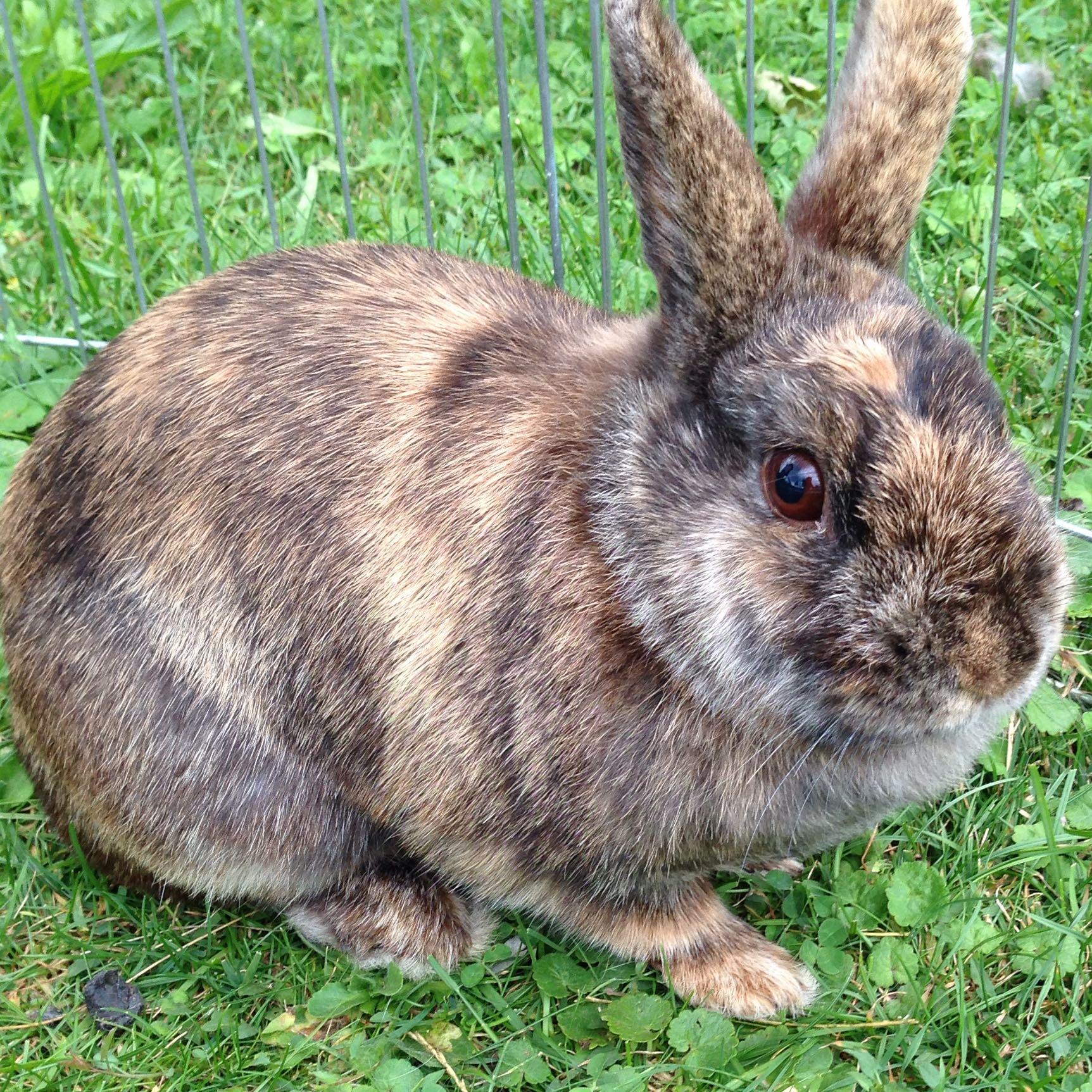 welche rasse haben meine kaninchen hasen kaninchenrasse. Black Bedroom Furniture Sets. Home Design Ideas