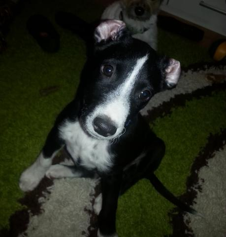 Benny - (Hund, Welpen, Hunderasse)
