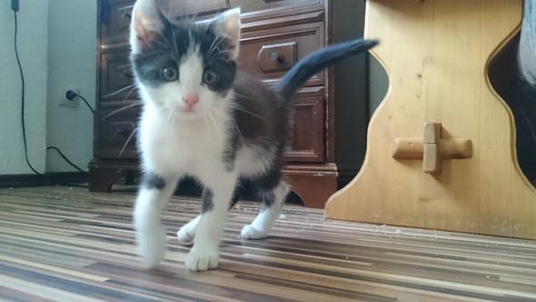 - (Katze, Rasse)