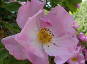 Rose - (Pflanzen, Rosen)