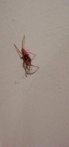 Welche Rote Spinne Ist Das Insekten Spinnentiere