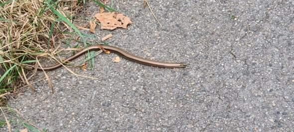 Welche Schlangenart könnte das sein?