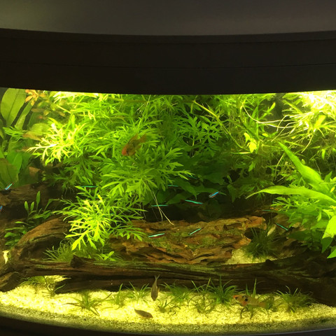 Das Aquarium (die vielen Pflanzen habe ich schon gekürzt)  - (Fische, Aquarium, Schnecken)