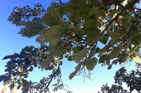 Die Früchte sehen ein bisschen aus wie Brombeeren - (Biologie, Frankreich, Baum)