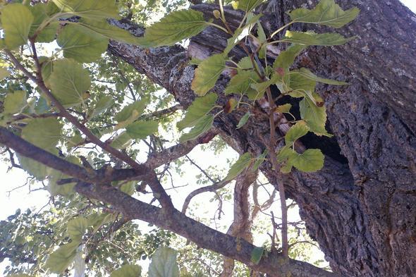 Die Rinde hat was von einer Eiche - (Biologie, Frankreich, Baum)