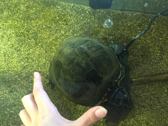 Panzer von oben - (Schildkröten, Spezies)