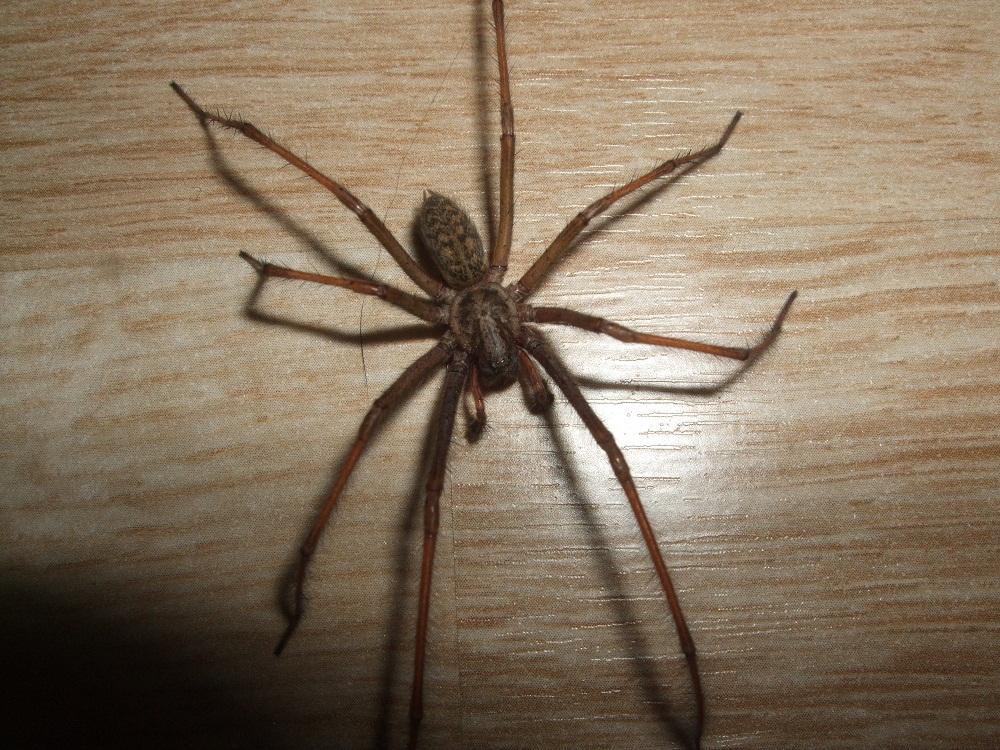 Welche Spinne ist das? Gefährlich? (Gefahr)