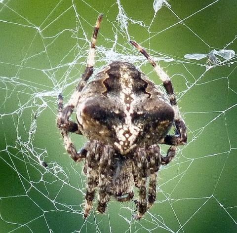 Spinnenbild 1 - (Tiere, Insekten, Spinnen)