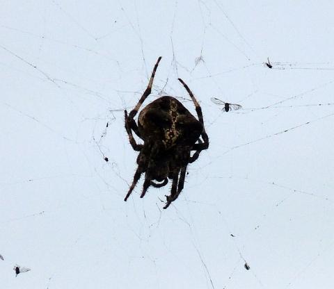 Spinnenbild2 - (Tiere, Insekten, Spinnen)