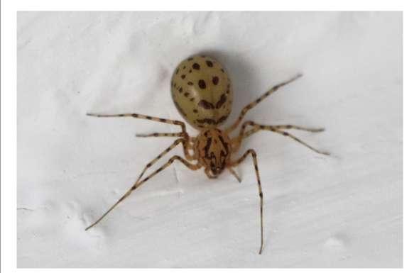 Welche Spinne ist das?Sie hat mich wahrscheinlich gebissen?
