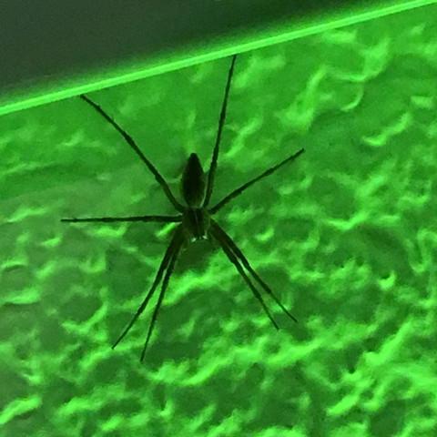 War zuhause an der Wand  - (Spinnen, Art, Spinne)