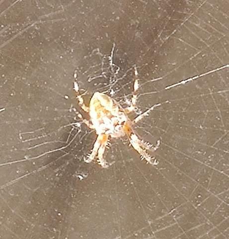 Welche spinnenart ist das? Giftigkeit?