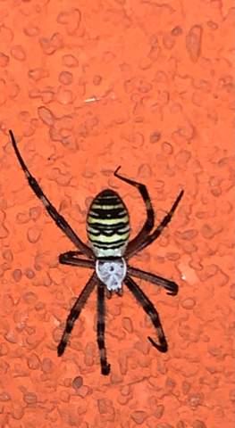 Welche Spinnenart ist das (Österreich)?