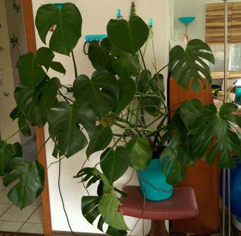 Prächtig Welche Temperaturen hält eine Monstera-Pflanze aus? (Pflanzen &AV_12