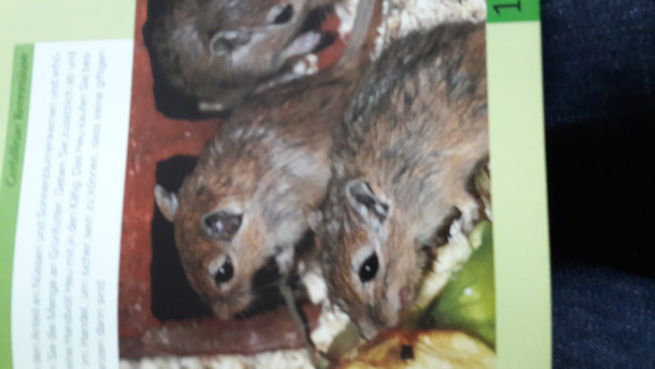 - (Tiere, Maus)