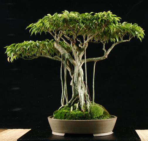 welche tropsche pflnaze bildet viele brett und luft wurzeln wissen pflanzen. Black Bedroom Furniture Sets. Home Design Ideas