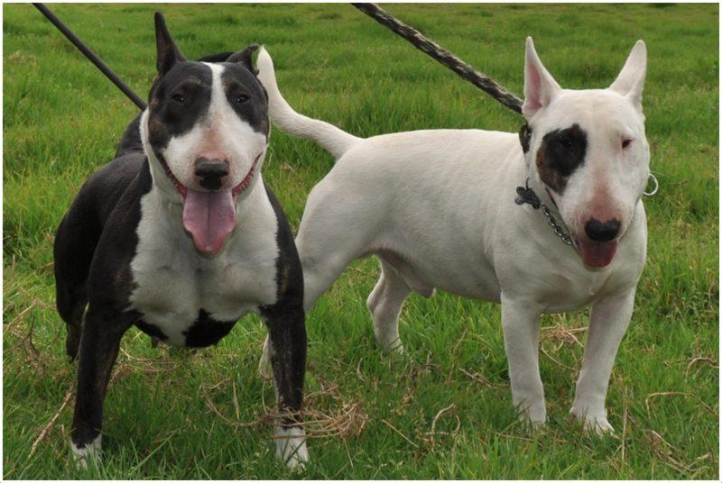 Welche Von Den Beiden Hunderassen Sieht Mehr Nach Kampfhund Auss