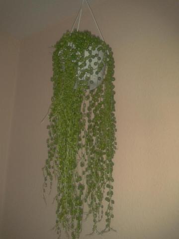 welche zimmerpflanze blumenampel ist das pflanzen pflanzenpflege zimmerpflanzen. Black Bedroom Furniture Sets. Home Design Ideas