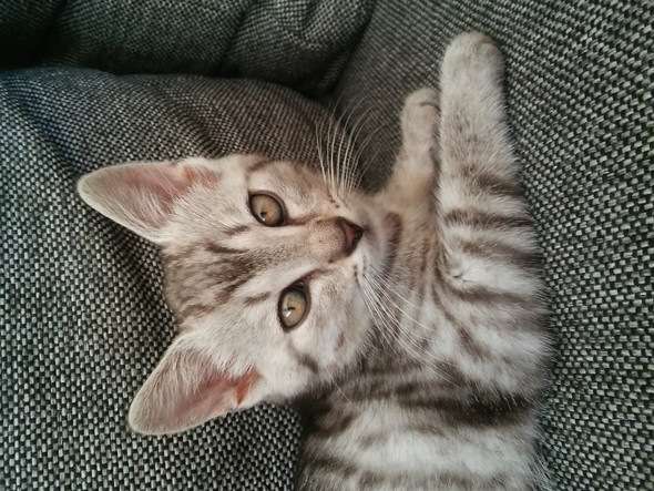 Lotta - (Katze, Rasse)