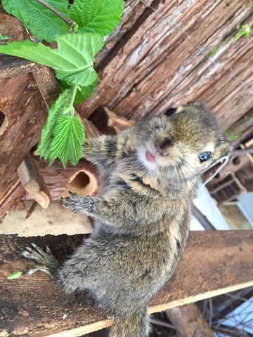 Streifenhörnchen  - (Haustiere, Kleintiere, Käfighaltung)