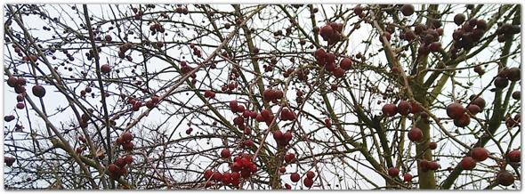 Welcher Baum mit diesen Früchten?