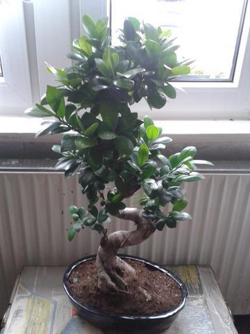 welcher bonsai ist das pflanzen baum pflanzenpflege. Black Bedroom Furniture Sets. Home Design Ideas