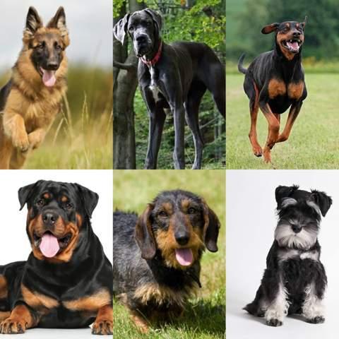 Welcher dieser Hunde ist der deutscheste 🇩🇪?