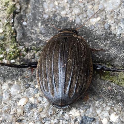 Diesen Käfer habe ich heute in unserem Hof gefunden. - (Art, Käfer, heimisch)