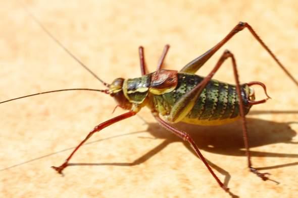 Welcher Käfer ist das auf diesem Bild?