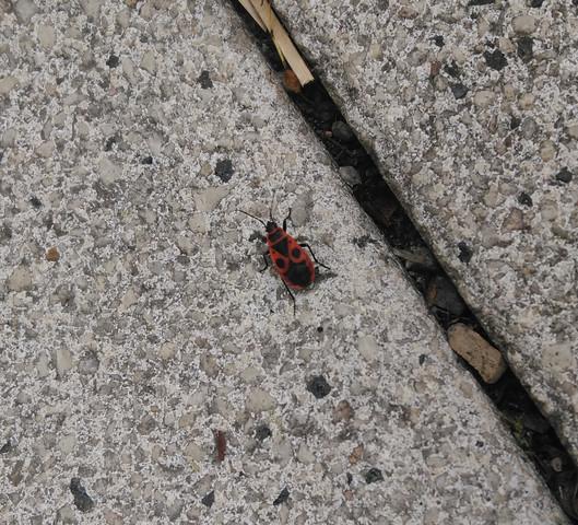 - (Tiere, Insekten, Käfer)