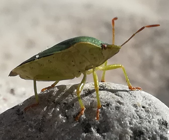 Welcher Käfer ist das (Nordsee)?