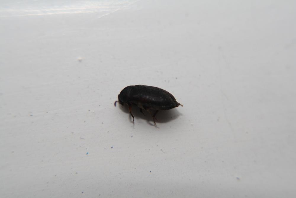 Welcher Käfer könnte das wohl sein? (Kaefer, Ungeziefer)