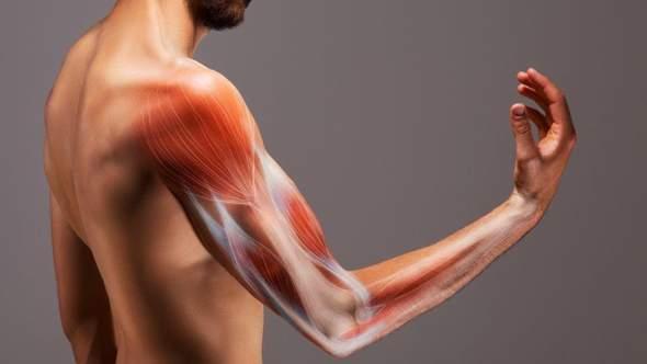 Welcher Muskel ist beim Armdrücken der wichtigste?